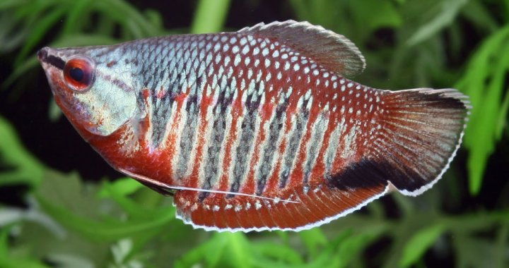Vaillant's Chocolate Gourami