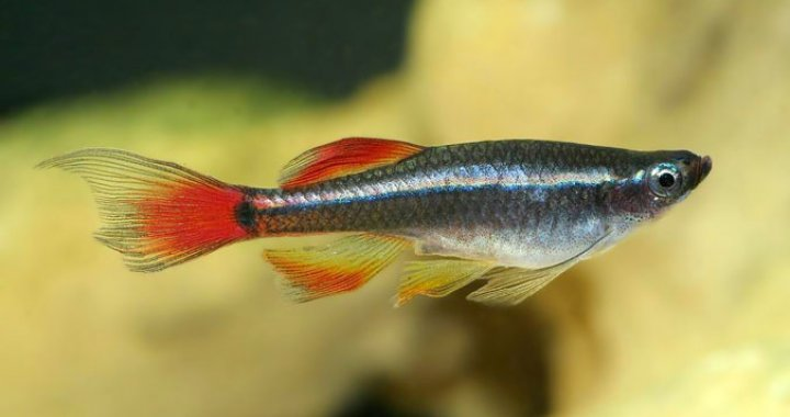 Kardynałek Chiński, Kardynałki Chińskie - ryby akwariowe