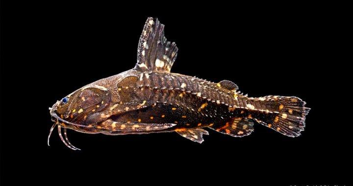 kirys-grzebykoczelny-agamyxis-pectinifrons-ryba-akwariowa-02