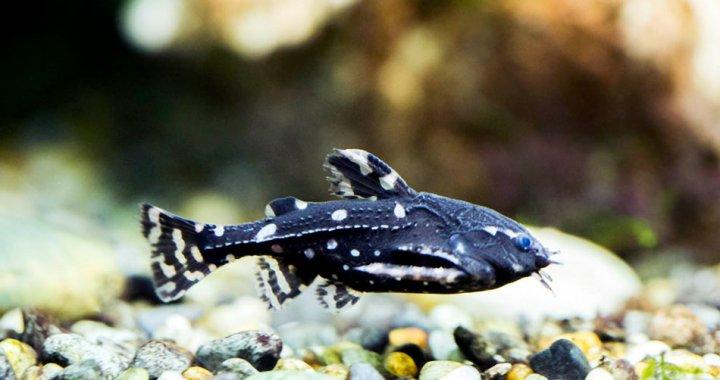 kirys-grzebykoczelny-agamyxis-pectinifrons-ryba-akwariowa-03