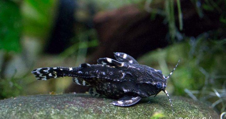 kirys-grzebykoczelny-agamyxis-pectinifrons-ryba-akwariowa-04