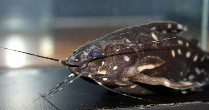 kirys-grzebykoczelny-agamyxis-pectinifrons-ryba-akwariowa-05