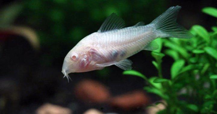 Kirysek Albinos - Kirysek Spiżowy