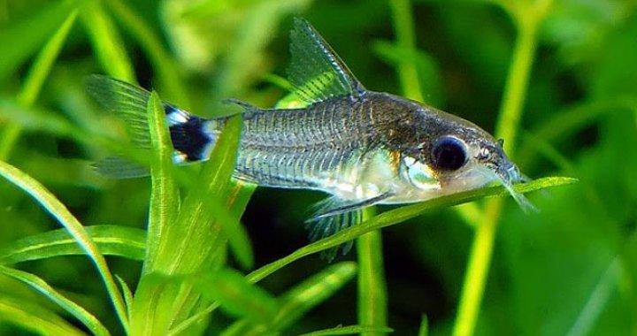 Kirysek karłowaty - sierpoplamy - ryba akwariowa