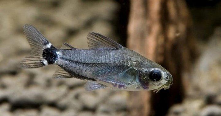 Kirysek sierpoplamy, karłowaty - ryba akwariowa