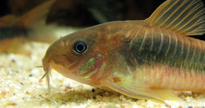 Kirysek Spiżowy - ryba akwariowa