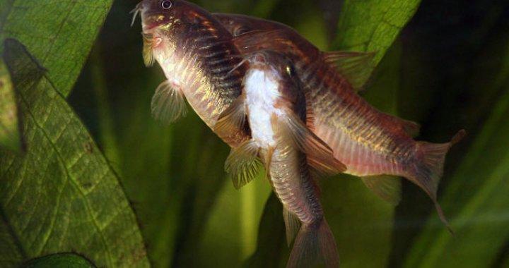 Kiryski Spiżowe - ryby akwariowe
