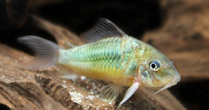 Emerald Cory Catfish