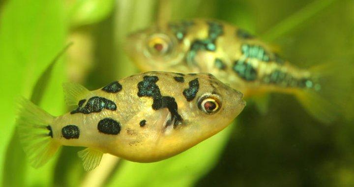 Kolcobrzuch Karłowaty - Kolcobrzuchy Karłowate