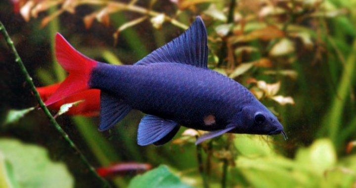 Labeo ryba akwariowa, czarna