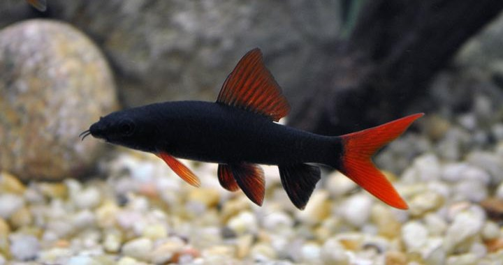 Labeo - Grubowarg Zielony - Rekin Tęczowy - ryba akwariowa