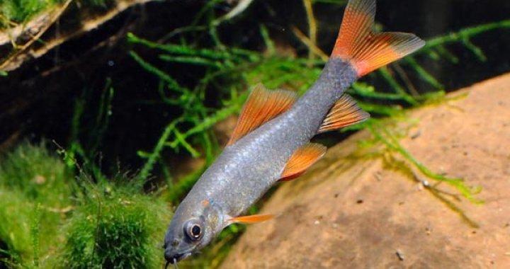 Labeo - Grubowargi Zielone - Rekiny Tęczowe - ryby akwariowe