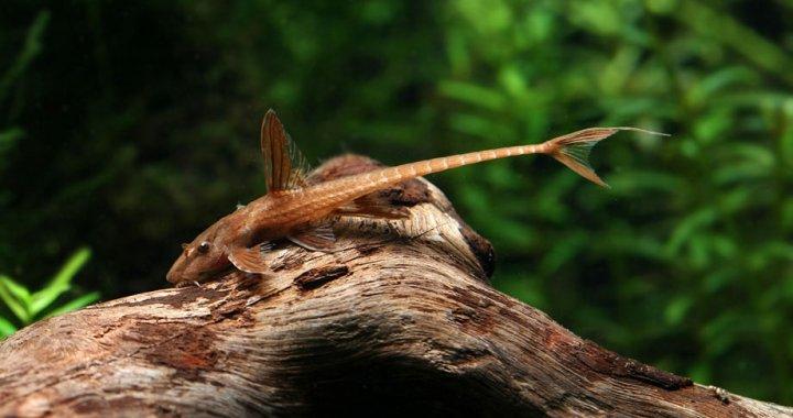 Rineloricaria red lizard - L010a
