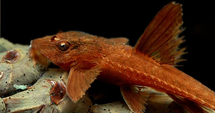 Loricaria red - Whiptail catfish