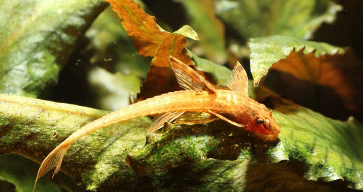 Loricaria sp. red