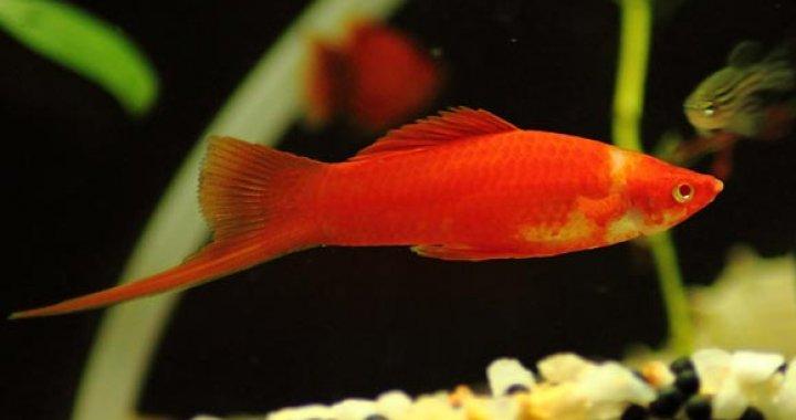 Mieczyk Hellera -  ryba akwariowa, Mieczyki