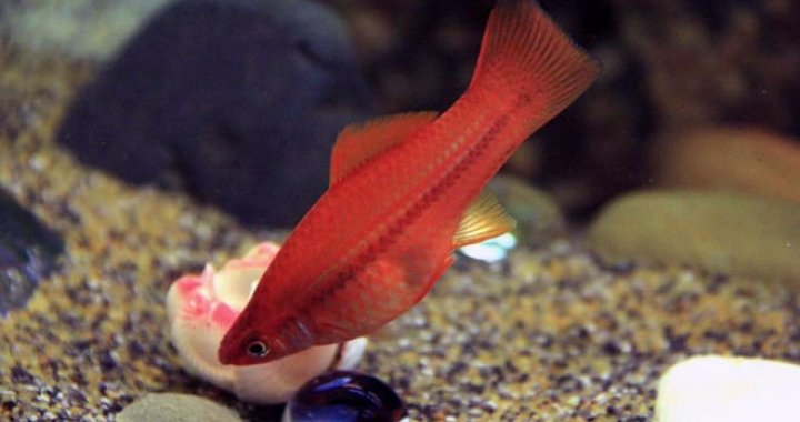 Mieczyk Hellera -  ryba akwariowa