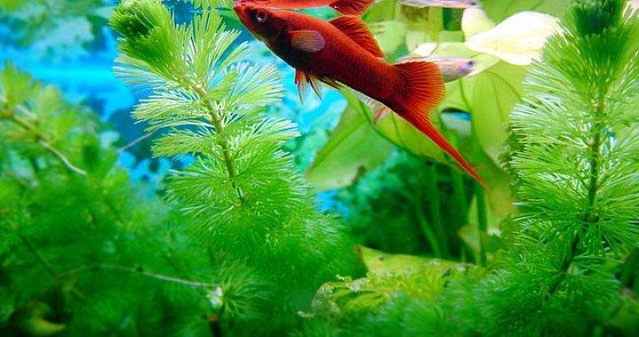 Mieczyk - ryba akwariowa, Mieczyki
