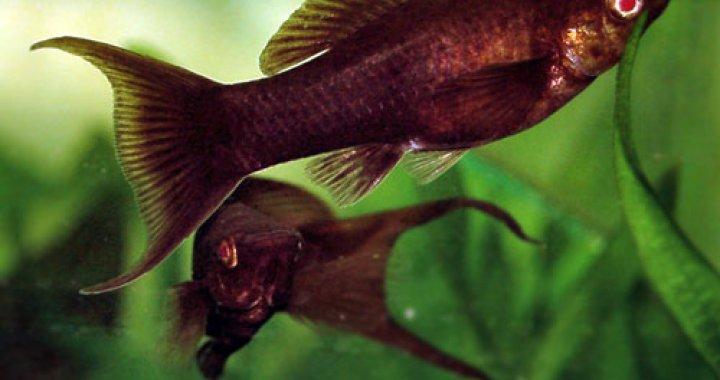 Molinezja Ostrousta - ryba akwariowa
