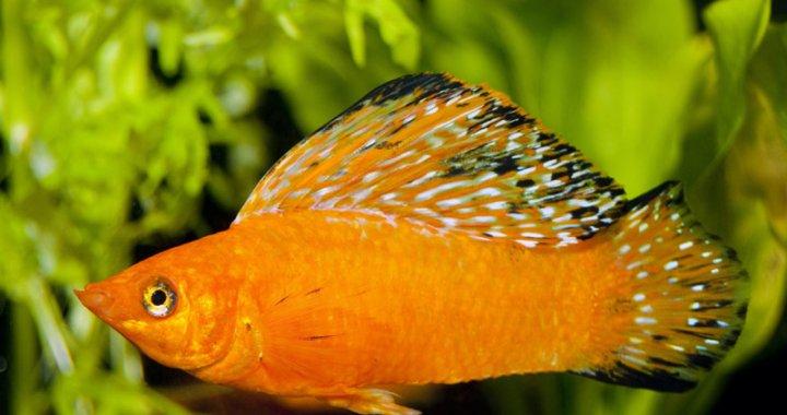Molinezja żaglopłetwa - ryba akwariowa