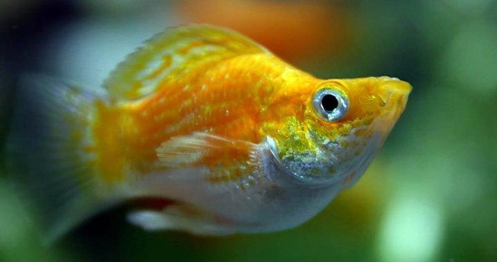 Poecilia velifera - Molinezja żaglopłetwa