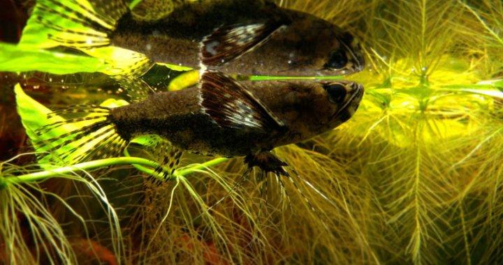 Motylowiec - ryba akwariowa