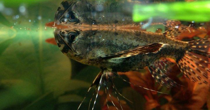 Motylowiec - African Butterfly Fish