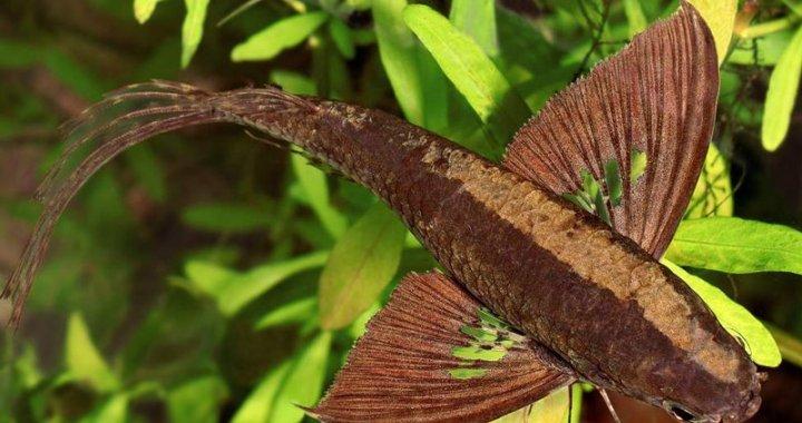 Motylowiec afrykański