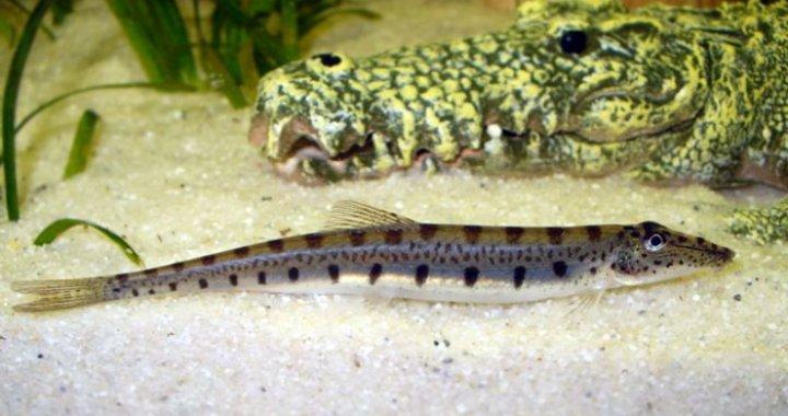 Mułojad - Acantopsis dialuzona