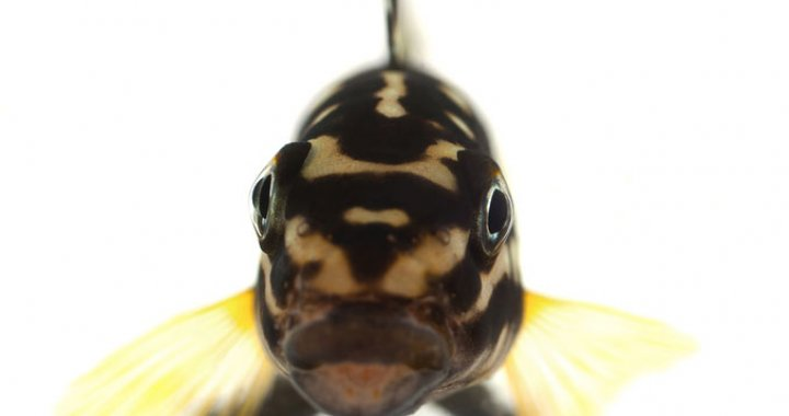 Naskalnik Marliera (Julidochromis marlieri)