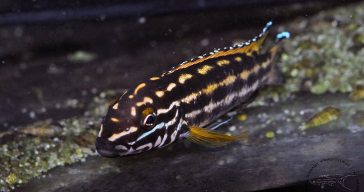 Naskalnik Regana - Julidochromis Regani