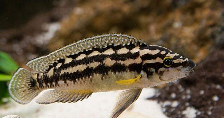 Julidochromis transcriptus - Naskalnik wężogłowy