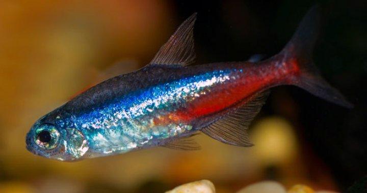 Neon Innesa - ryba akwariowa, ryby