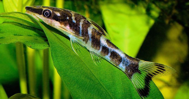 Otosek przyujściowy - ryba akwariowa