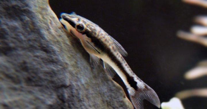 Otosek - ryba akwariowa