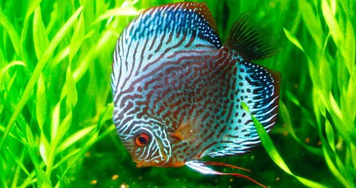 Paletka - ryba akwariowa