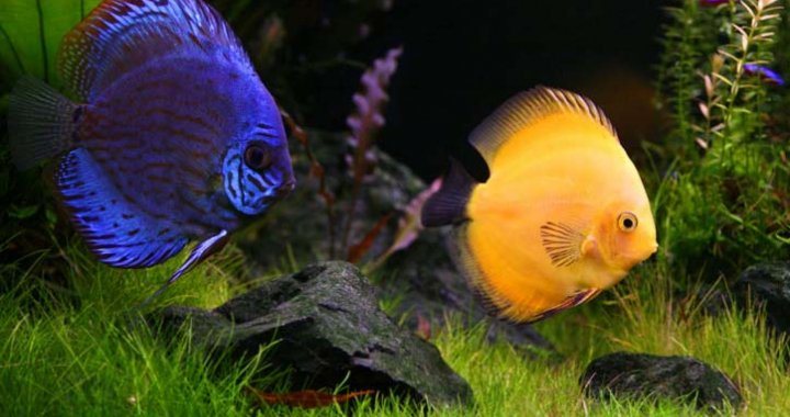 Paletki - Dyskowce - ryby akwariowe
