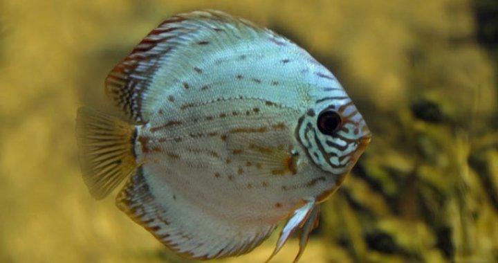 Paletka - Dyskowiec - Paletki - ryby akwariowe