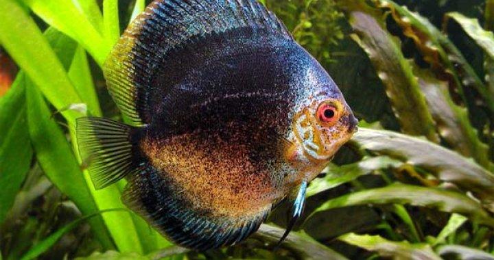 Dyskowiec - Paletka - Dyskowce - ryby akwariowe