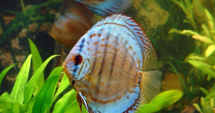 Paletki - Dyskowce - Paletka - ryba akwariowa