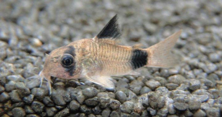 Kirysek Panda - ryba akwariowa