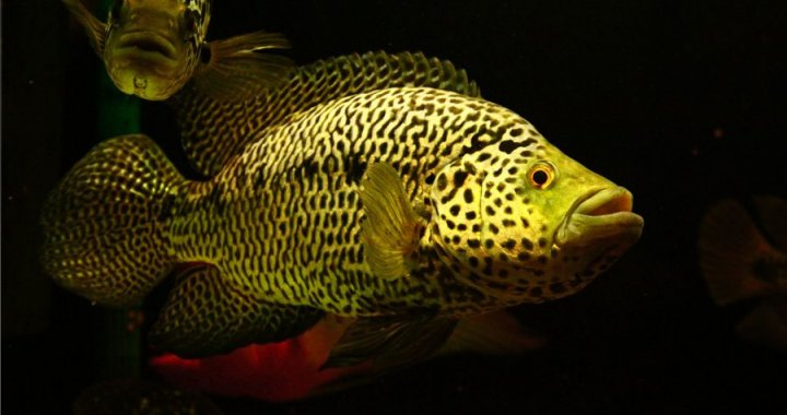 pielegnica-managuanska-parachromis-managuensis-jaguar-cichlid-01