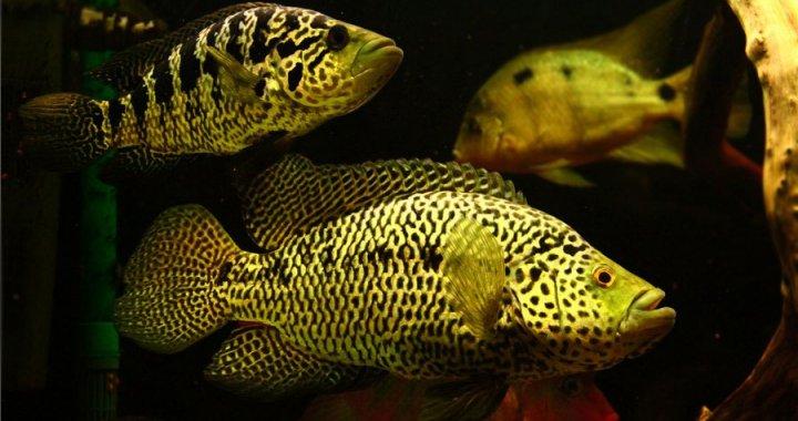 pielegnica-managuanska-parachromis-managuensis-jaguar-cichlid-02