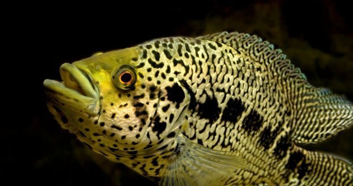 pielegnica-managuanska-parachromis-managuensis-jaguar-cichlid-03