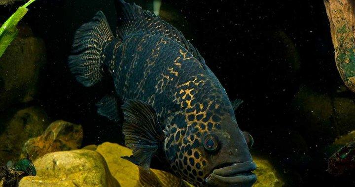 pielegnica-managuanska-parachromis-managuensis-jaguar-cichlid-04