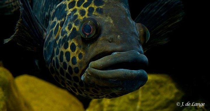 pielegnica-managuanska-parachromis-managuensis-jaguar-cichlid-05