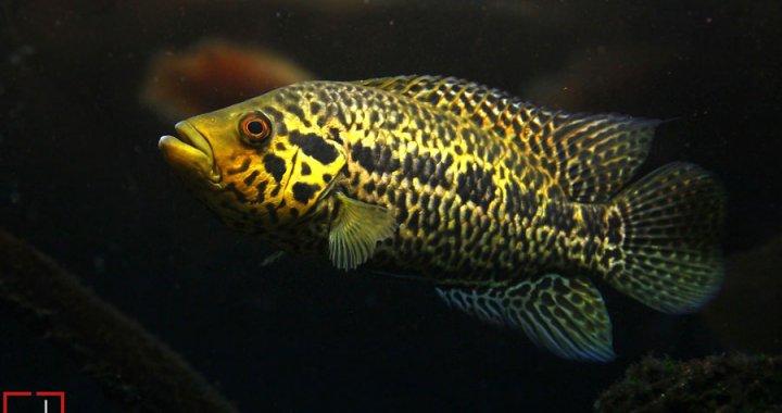 pielegnica-managuanska-parachromis-managuensis-jaguar-cichlid-06