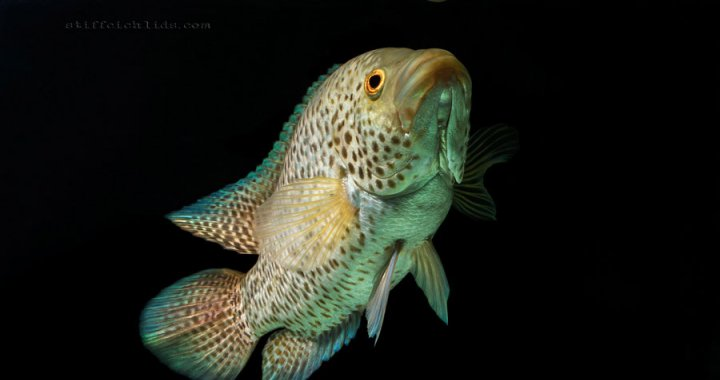 pielegnica-managuanska-parachromis-managuensis-jaguar-cichlid-07