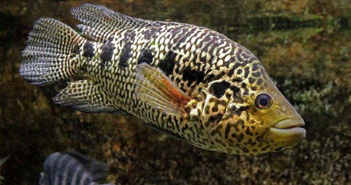pielegnica-managuanska-parachromis-managuensis-jaguar-cichlid-08