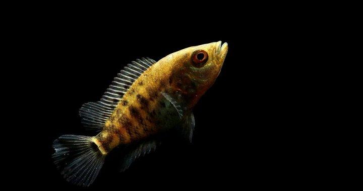 pielegnica-managuanska-parachromis-managuensis-jaguar-cichlid-09